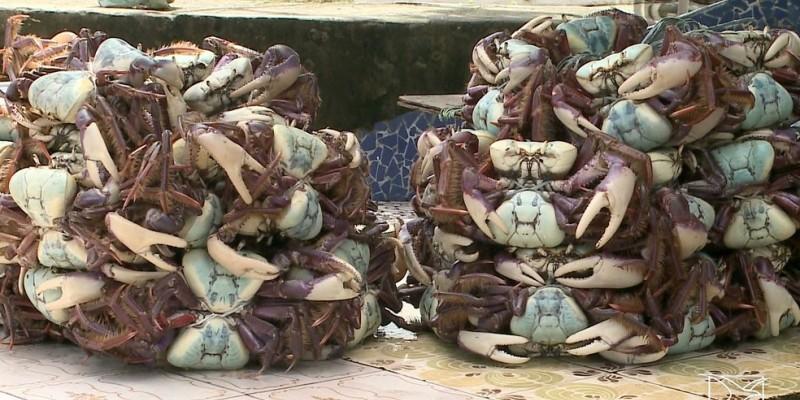 Os caranguejos estavam sendo comercializados em barracas e por ambulantes de rua, que foram autuados e tiveram o produto apreendido