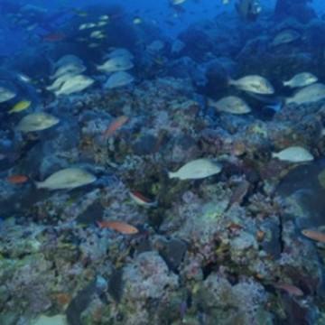 Banco de corais é descoberto em Noronha