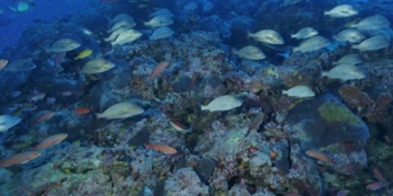 """Segundo os pesquisadores, é um dos maiores bancos da espécie de coral conhecida como """"cérebro do Nordeste"""""""