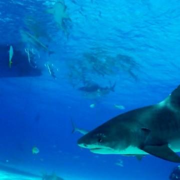 Análise revela espécie de tubarão que atacou banhista em praia do Grande Recife