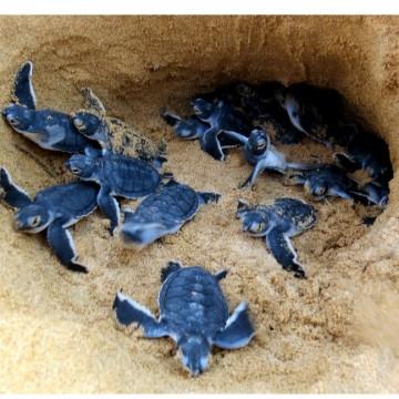 Projeto Tamar tem monitoramento de tartarugas paralisado nesta temporada