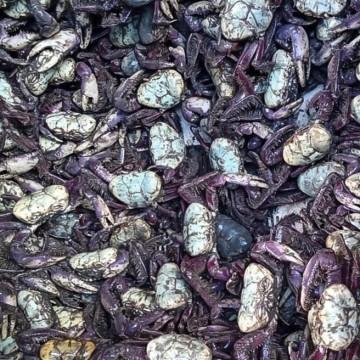 Mais de duas mil unidades do Caranguejo-uçá foram devolvidos à natureza no primeiro período do defeso
