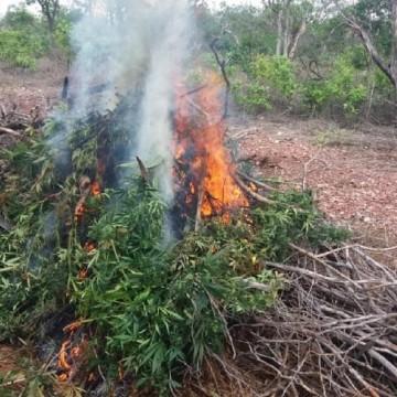 Mais de 10 mil pés de maconha são destruídos no Sertão de Pernambuco