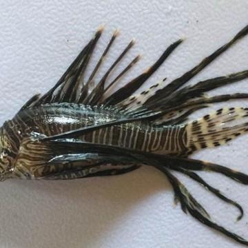 Mais dois peixes venenosos são capturados em Fernando de Noronha