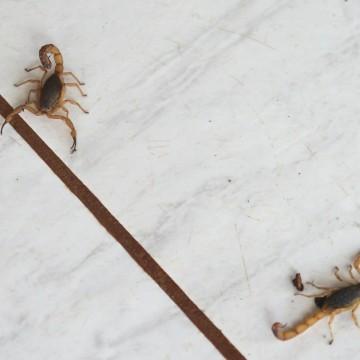 Mais de cinco mil casos de picada por escorpião foram registrados em Pernambuco