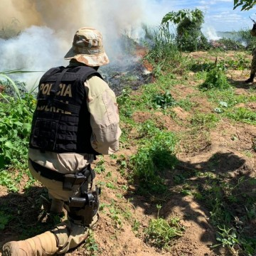 Mais de 1600 pés de maconha são erradicados em operação conjunta da Polícias Federal e Militar