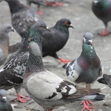 O Risco de alimentar os Pombos