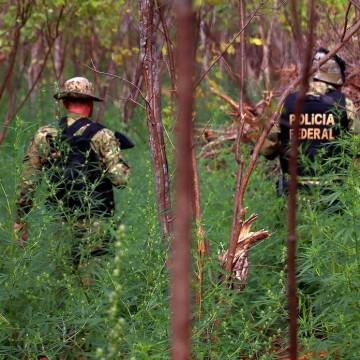 PF erradica 58 mil pés de maconha no Sertão de Pernambuco