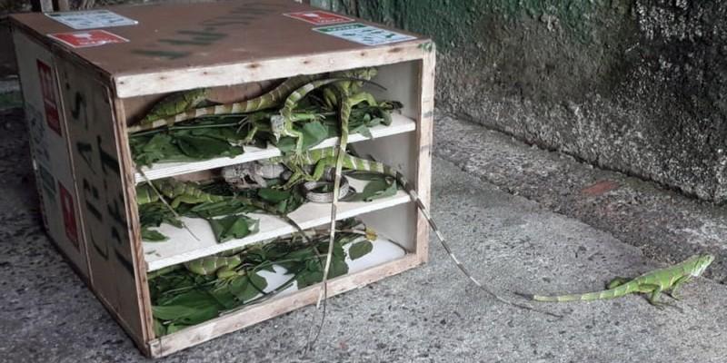 Além de 22 iguanas, foram repatriados 294 pássaros de diferentes espécies, como azulão, periquito-da-caatinga, galo-de-campina, papa-capim