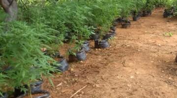 Operação erradica cultivo de plantio de maconha no Sertão