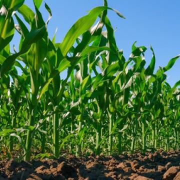 Panorama CBN: Incentivo da AVIPE para produção de milho e sorgo no Agreste Meridional