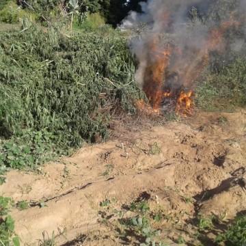 Mais de 15 mil pés de maconha são destruídos por polícia entre Pernambuco e Bahia
