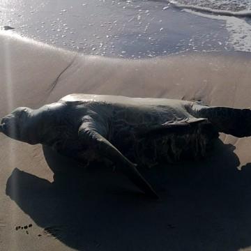Tartaruga é encontrada morta em Casa Caiada