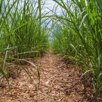 Falta de chuvas compromete safra de cana-de-açúcar na mata norte