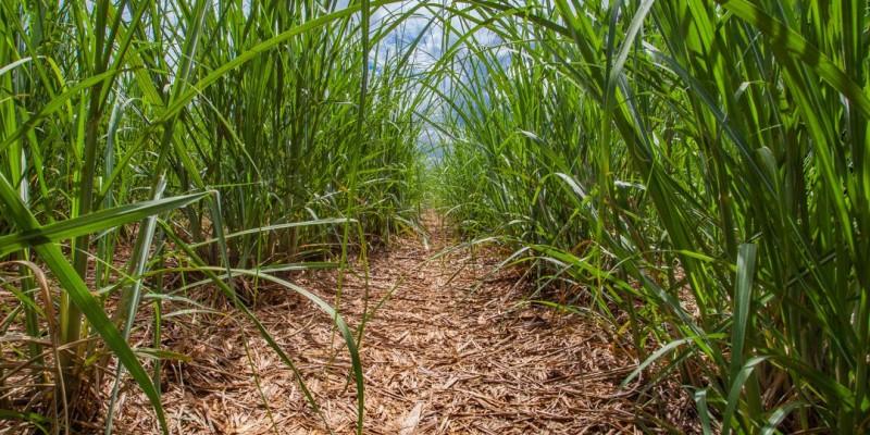 Na zona da mata, onde estão boa parte das plantações e usinas de cana-de-açúcar, o nível pluviométrico tem sido mal distribuído na região.