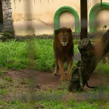 Veterinários realizam exames de saúde no Leão do Parque de Dois Irmãos