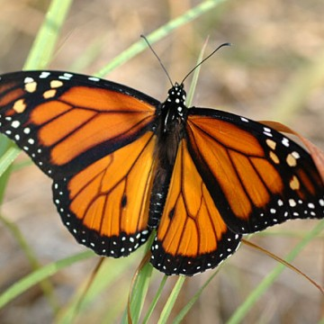 Aumento do número de borboletas