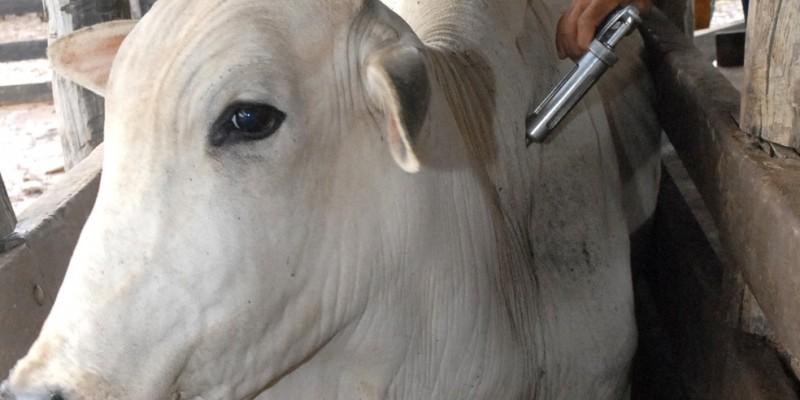 A meta é imunizar 662.750 bovinos e bubalinos com até dois anos de idade durante o mês de novembro