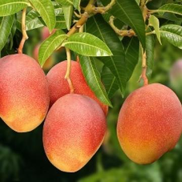 Custos, mosca da fruta e baixa elasticidade do mercado travam expansão da manga nos EUA