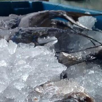Pescado no litoral nordestino é monitorado