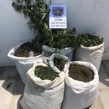 Polícia Militar erradica mais de 5 mil pés de maconha em Cabrobó