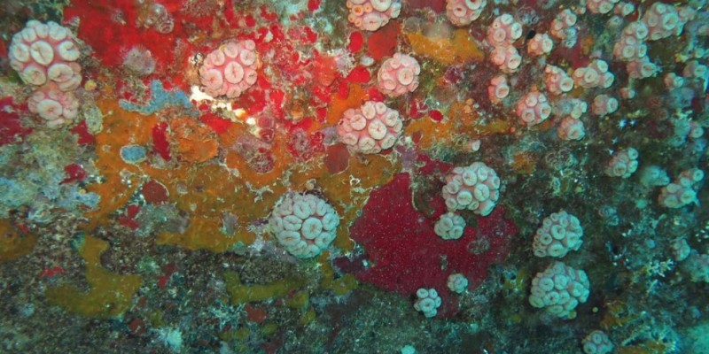 Essa espécie de coral coloca em risco a biodiversidade dos ecossistemas nativos, provocando impactos negativos ao turismo subaquático e à pesca artesanal